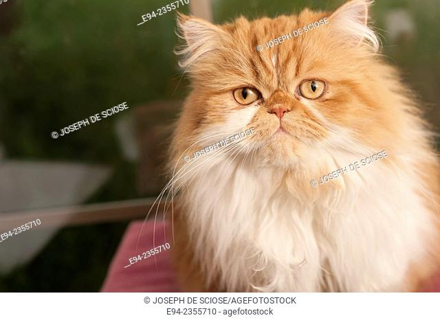 A pet Persian cat looking at the camera