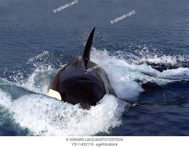 KILLER WHALE orcinus orca, ADULT STANDING AT SURFACE