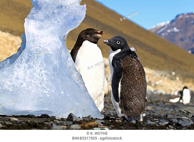 adelie penguin (Pygoscelis adeliae), two young Adelie Penguins moulting, Antarctica, Devil Island