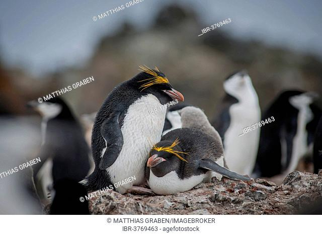 A pair of Macaroni Penguins (Eudyptes chrysolophus) breeds in a colony of Chinstrap penguins (Pygoscelis antarctica), Hannah Point, Livingston Island