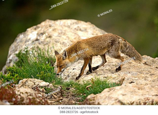 Spain, Province of Lleida, Red Fox (Vulpes vulpes), coming at a feeding station to find food
