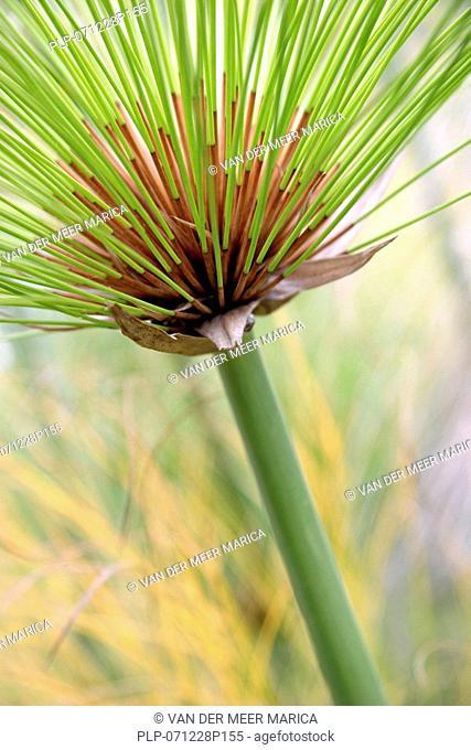 Papyrus Cyperus papyrus close-up, South Africa
