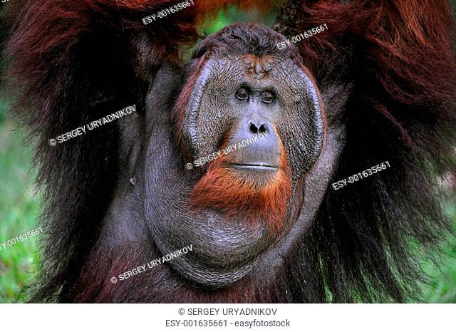 The adult male of the Orangutan