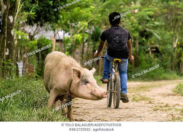 cerdo en la calle, La Taña, zona Reyna, departamento de Uspantan,Guatemala, Central America