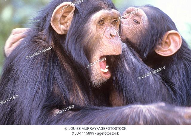 Rescue chimps are brought to Sweetwaters in Kenya for rehabilitation  These two seem to be having a conversation
