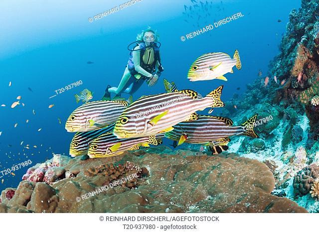 Oriental Sweetlips and Diver, Plectorhinchus orientalis, Cocoa Corner, South Male Atoll, Maldives