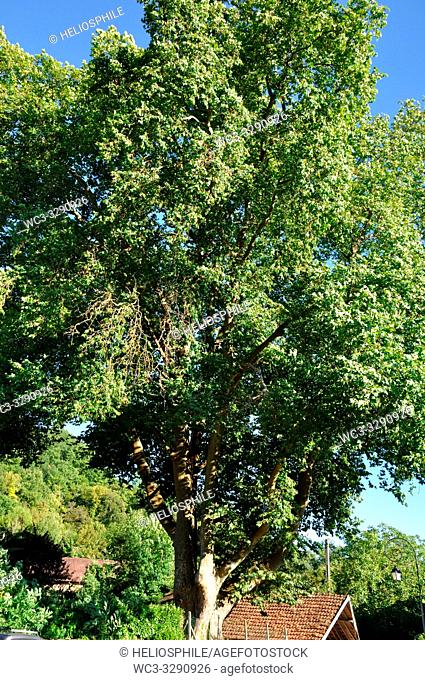 Thermidor, plane tree more than 250 years old