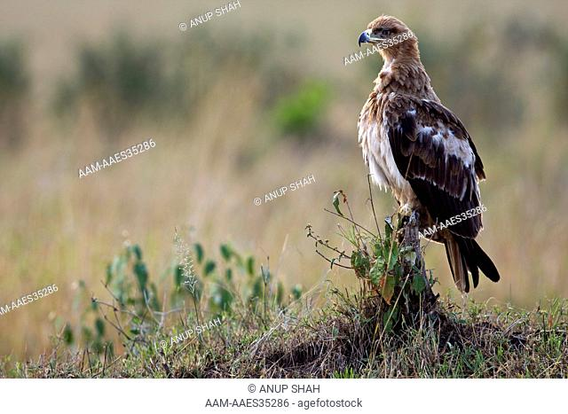 Immature Tawny Eagle (Aquila rapax). Maasai Mara National Reserve, Kenya. Sep 2008