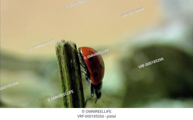 Seven-Spot Ladybird on plant stalk