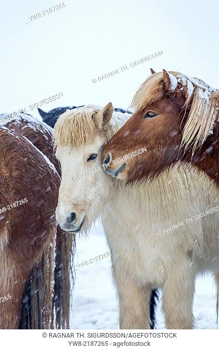 Icelandic Horses outside during a winter snow storm, Iceland