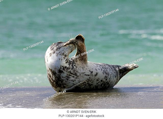 Grey seal / gray seal Halichoerus grypus female lying on beach and scratching nose with flipper