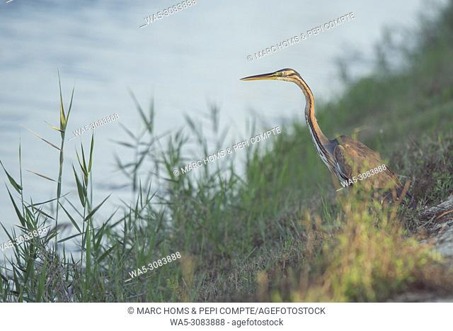 Purple Heron hunting on Deltebre, catalonia