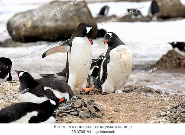 Gentoo Penguins (Pygoscelis papua), adult, pair, nest, brooding, Half Moon Island, Antarctica