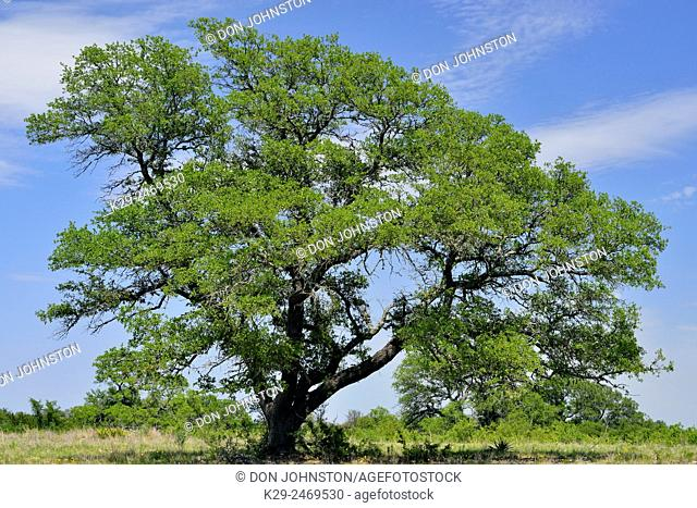 Oak tree in late spring, Round Mountain, Texas, USA