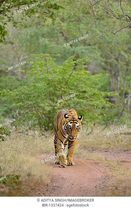 Tiger (Panthera tigris) in the tracks of Ranthambore National Park in Rajasthan, India, Asia