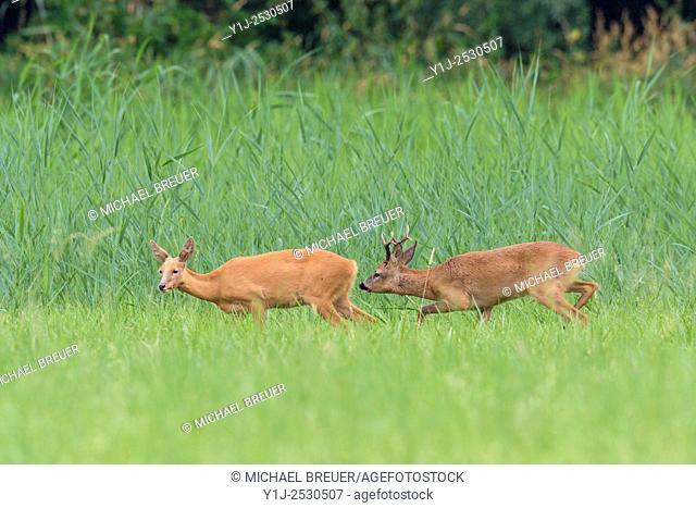 Western Roe Deers (Capreolus capreolus) at Rutting Season, Roebuck and Doe, Hesse, Germany, Europe