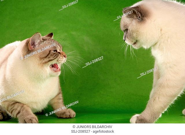 British Shorthair. Two adults quarreling. Germany