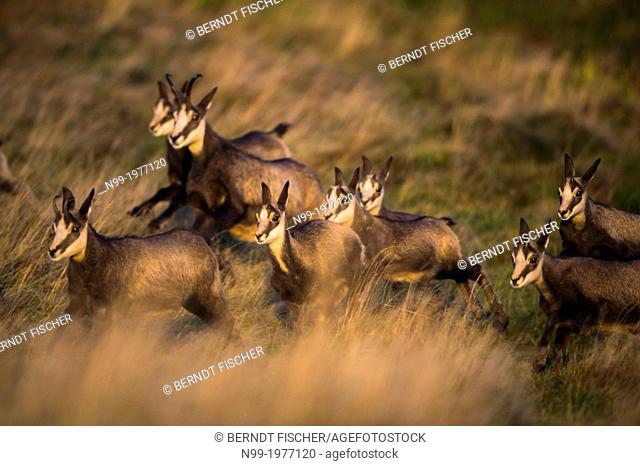 Chamois (Rupicapra rupicapra), herd in autumn, Vosges, France