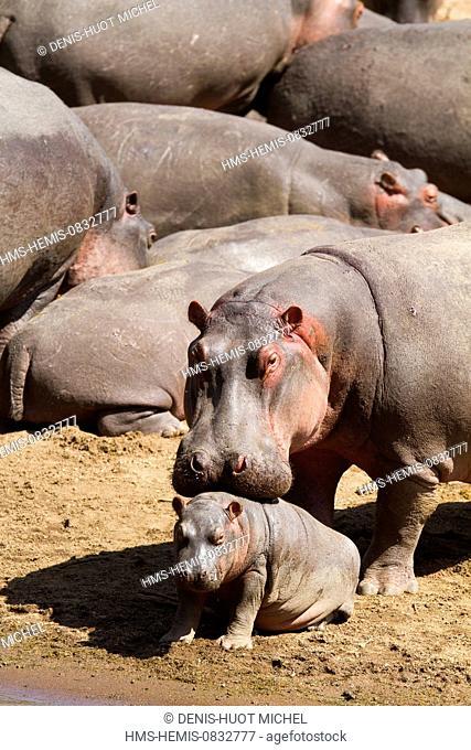 Kenya, Masai Mara National Reserve, Hippopotamus (Hippopotamus amphibius), female protecting her baby