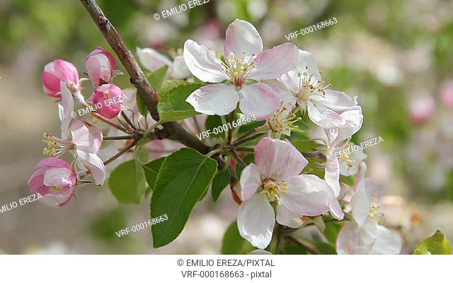 Apple tree blossom.Lleida, Catalonia, Spain, Europe