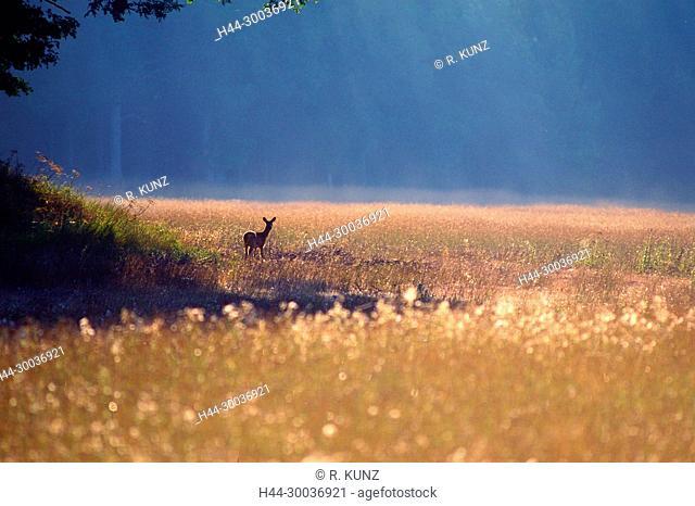 Deer, Capreolus capreolus, Cervidae, doe, animal, mammal, autumn, autumn colours, Ängsön Nature Reserve, Västmanland, Sweden