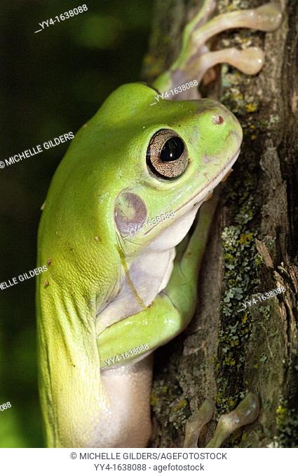 White's Tree Frog, Litoria caerulea, is native to Australia and New Guinea, with introduced populations in New Zealand and USA