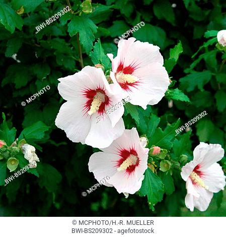 shrubby althaea, rose-of-Sharon (Hibiscus syriacus 'Red Heart', Hibiscus syriacus Red Heart), cultivar Red Heart, blooming