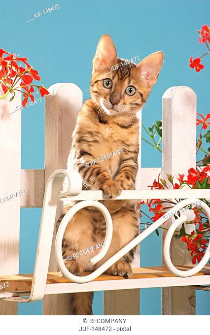 Bengal kitten - standing in front of fence