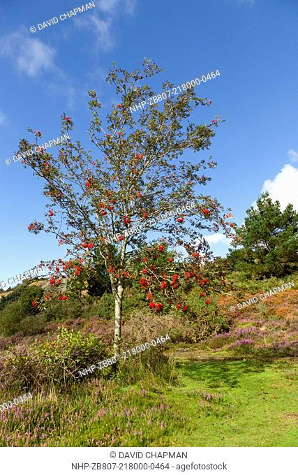 Rowan Tree, Sorbus aucuparia, with berries, UK