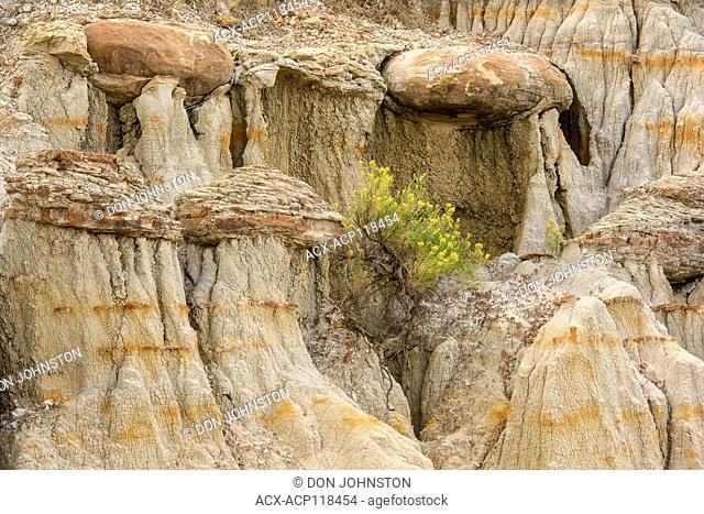 Eroded bentonite badlands features with flowering rubber rabbitbrush, Theodore Roosevelt NP (South Unit), North Dakota, USA