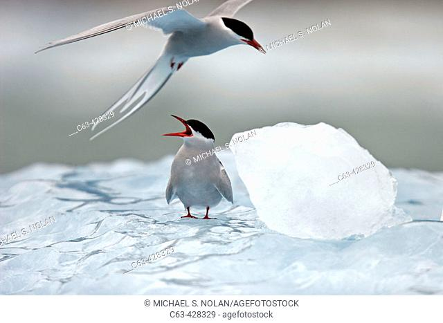 Adult Arctic Tern (Sterna paradisaea) on ice near Dawes Glacier, Endicott Arm, Southeast Alaska, USA
