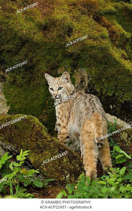 Bobcat Felis rufus in lush green mountain forest, Montana, USA