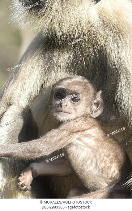 Asia, India, Rajasthan, Ranthambore National Park, Northern plains gray langur or Hanuman Langur (Semnopithecus entellus), mother and baby
