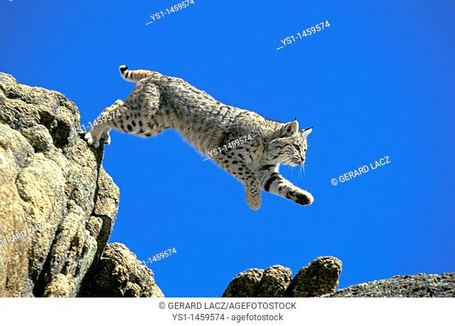 BOBCAT lynx rufus, ADULT LEAPING FROM ROCK, CANADA