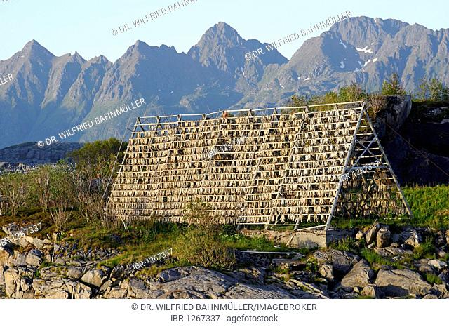 Drying rack for stockfish, Svolvaer, Norway, Scandinavia, Europe