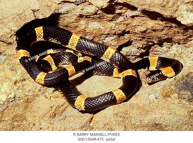Mexico, Alamos, Senora, Western Long-nosed Snake Rhinochelius lecontei