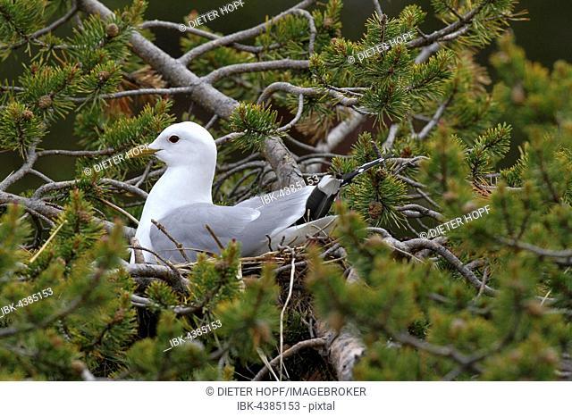 Common gull (Larus canus) sitting in nest on dwarf pine, Lapland, Norway