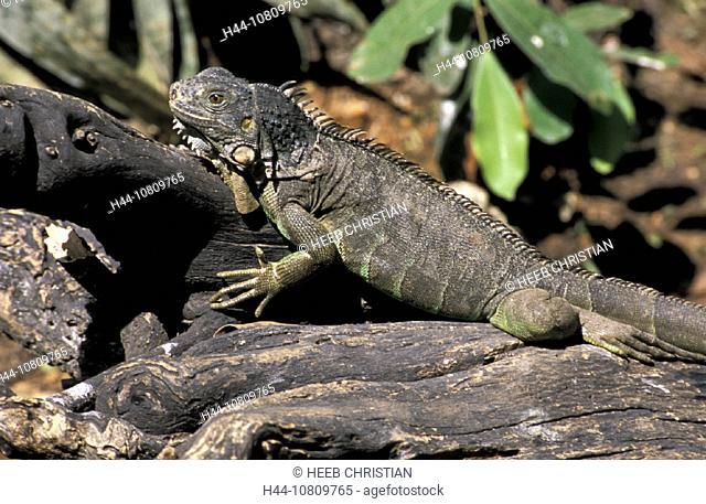 Chiapas, Tuxtla Gutierrez, Iguana iguana, Mexico, Central America, America, lizard