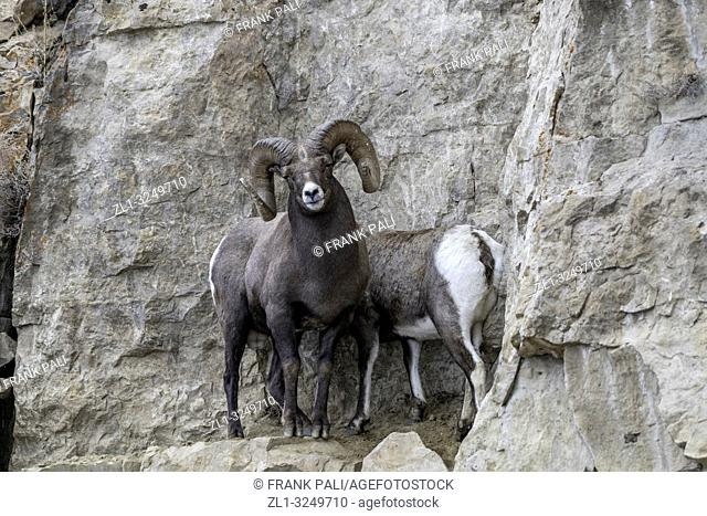 An adult male Bighorn sheep 'Ovis canadensis', protecting its Ewe from other Rams in lamar Valley Yellowstone National Park