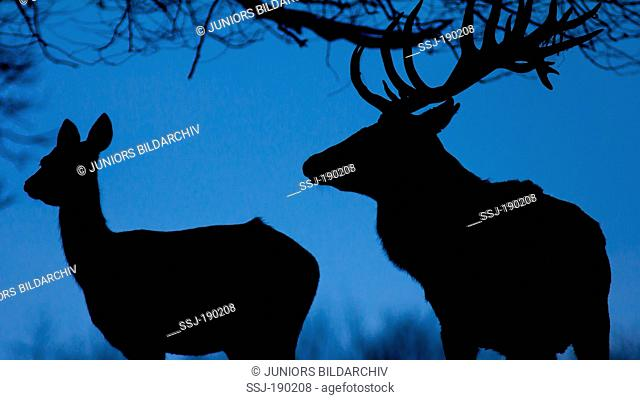 Red Deer (Cervus elaphus). Stag and hind silhouetted at dusk against the sky
