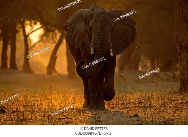 Portrait of african elephant (Loxodonta africana) at sunset, Chirundu, Zimbabwe, Africa