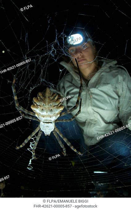 Lobed Argiope Argiope lobata adult female, in web at night, with researcher observing, Corsica, France