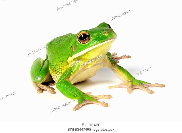 White-Lipped Tree Frog (Litoria infrafrenata), front lateral view, cutout