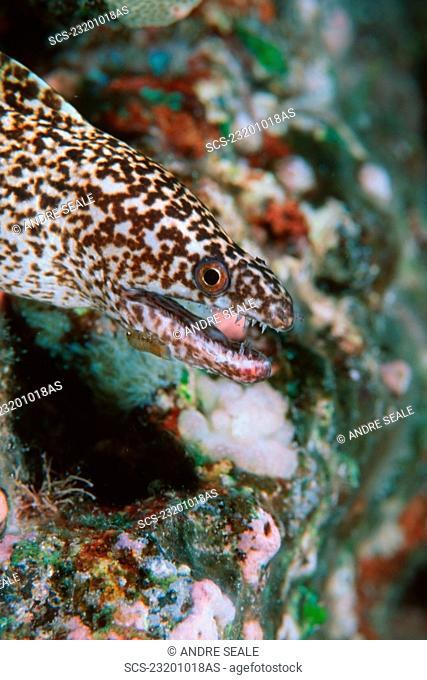 Stout moray, Gymnothorax eurostus, Kailua-Kona, Hawaii N Pacific RR