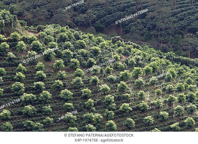 Coffee Plantations, Valle Central, Highlands, Costa Rica