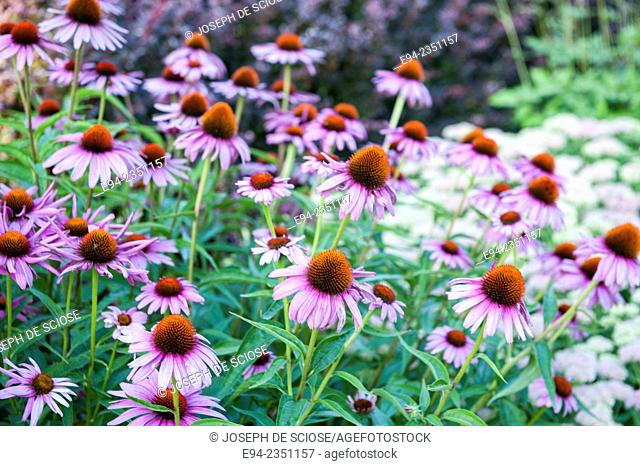 A mass planting of purple cone flowers, Echinacea, in a garden in the summer