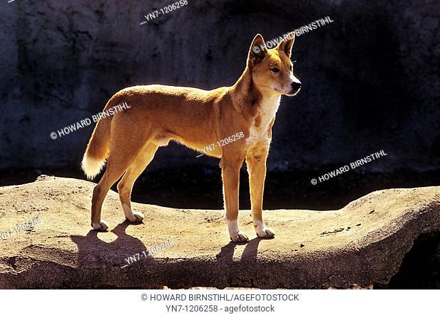 Australian dingo Canus lupus dingo