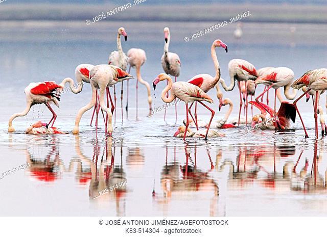 Greater Flamingo (Phoenicopterus ruber). Fuente de Piedra pools, Málaga province. Andalusia, Spain