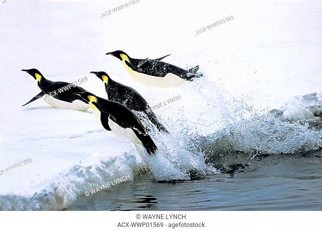 Emperor penguins Aptenodytes forsteri return to their nesting colony at Drescher Inlet, 72 Degrees South, after foraging in the Weddell Sea, Antarctica