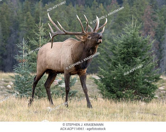 Bull elk bugling, rut behavior, walking at edge of forest, (Cervus canadensis), Jasper National Park, Alberta, Canada
